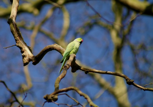 Rose-Ringed Parakeet #2
